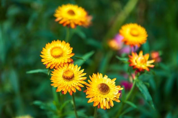 春の庭で緑の芝生の自然に美しいカラフルなわらの花。