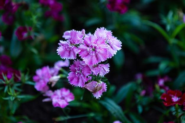 ダイアンサスの花春の庭の緑の芝生の自然に美しいカラフルな紫色のピンク。