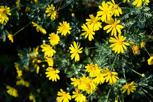春の庭の緑の芝生の自然に美しいフィールドデイジーの花やシンガポールデイジー黄色
