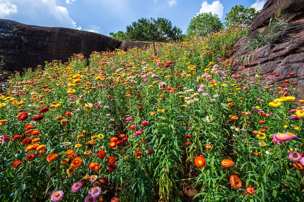 Соломенный цветок красочного красивого на природе зеленой травы в саде с утесом гор