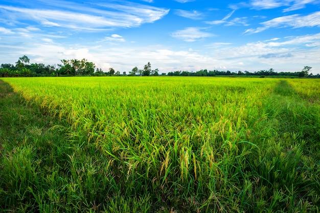 ふわふわの雲空の背景を持つ美しい緑のトウモロコシ畑。