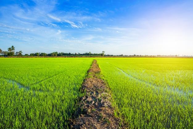 夕焼け空と美しい緑のトウモロコシ畑。