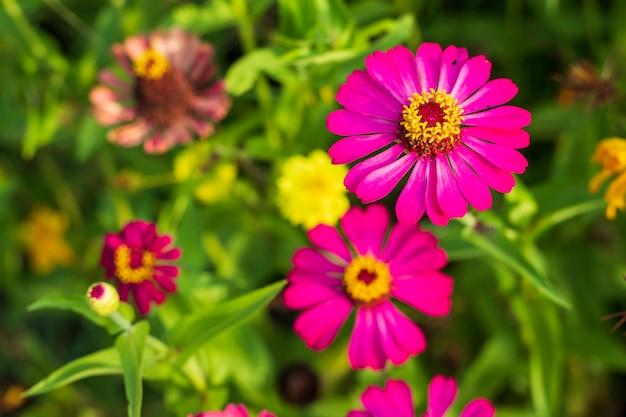 Розовые цветы космоса красиво цветут в саду природы