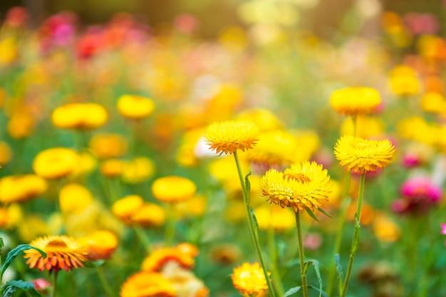 春の庭の緑の草の自然にカラフルな美しいのわらの花。