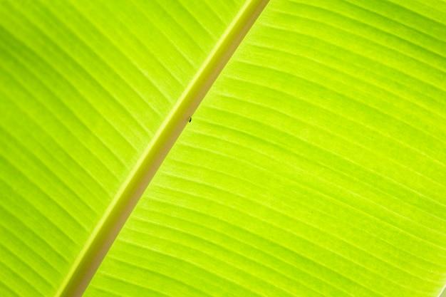 緑のバナナの葉の熱帯のヤシの葉のテクスチャ背景。