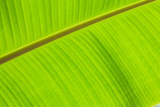 Предпосылка текстуры листвы ладони зеленых лист банана тропическая.