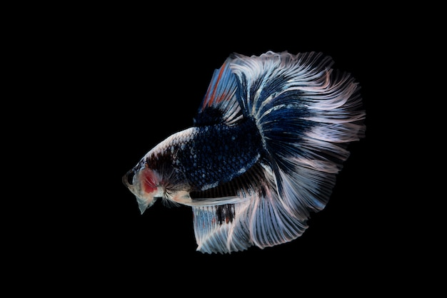 Движение сиамских боевых рыб, изолированных на черном фоне