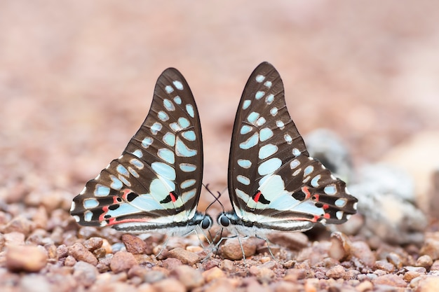 カップルの蝶は、自然の中で地面にミネラルを吸っています