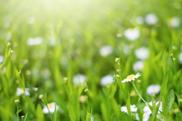 Весенние поля цветов ромашки с солнечной вспышки природы свежий фон