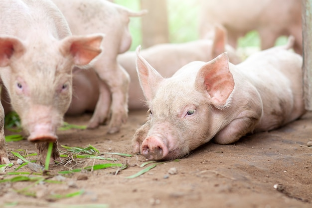 豚は農場で新生児になったばかりです。