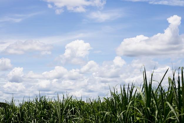 自然の背景のための空とサトウキビ。