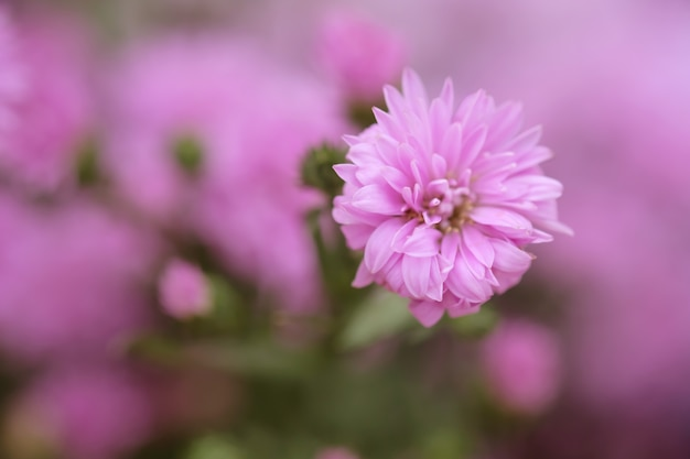 色とりどりの花の菊の背景