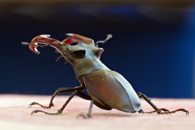 Олень-жук макросъемки