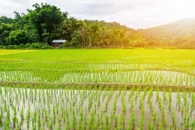 水田で若い稲が生えています。