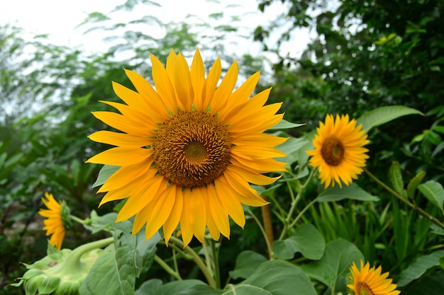 庭の太陽の花