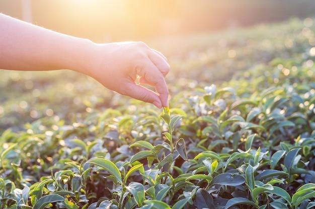 Крупным планом женщина рука на плантации чая в таиланде