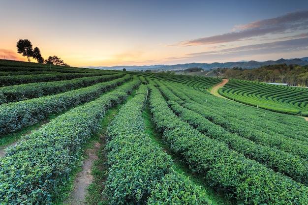 タイ北部チェンライの茶園