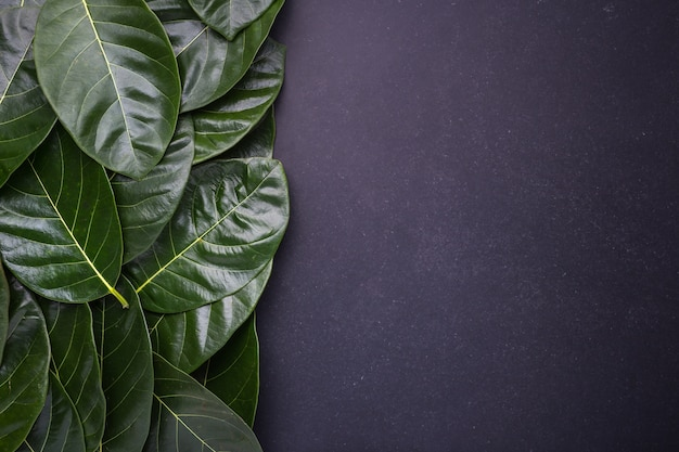 Разный цвет и возраст листьев листьев джекфрута