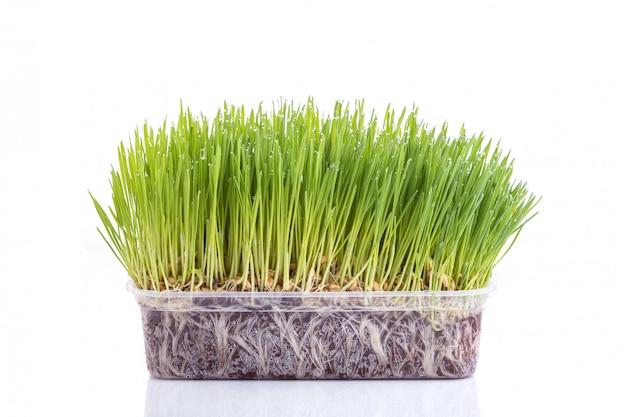 Молодая зеленая студия пшеницы выстрел, изолированных на белом