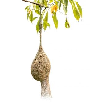 白で隔離されるツリー上のウィーバー鳥の茶色の乾いた草鳥の巣