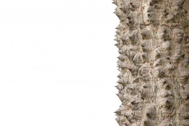 白で隔離されるフロスシルクツリーのとげ