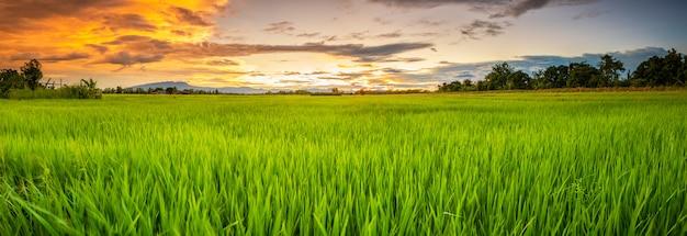 若い緑の田んぼのパノラマ風景