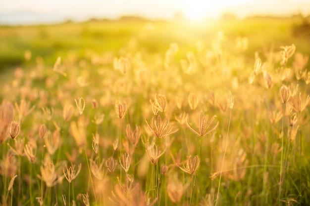 日の出時に美しい白い草の花