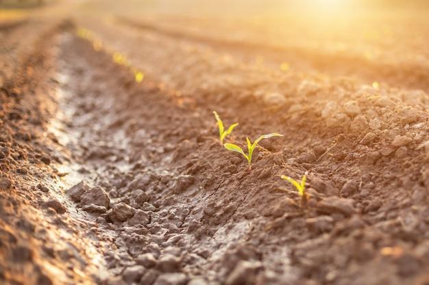 トウモロコシ畑に水を放出する深い土壌の土地の列