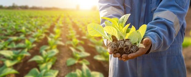 フィールドに緑のタバコを植えるタイの農学者