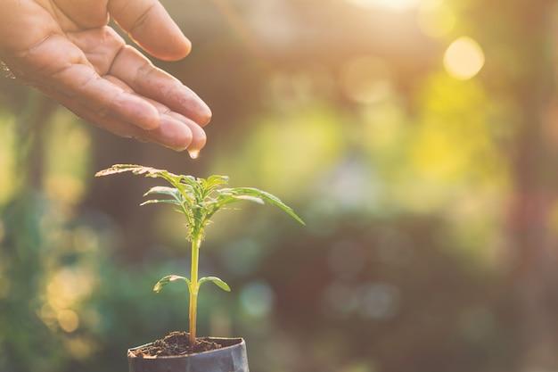 若いマリーゴールド植物に水を与える手