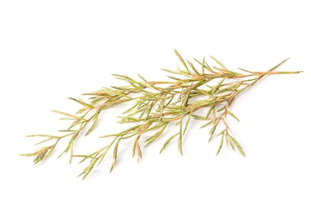 Цветок цитронеллы травяной. студия выстрел изолированные на белом