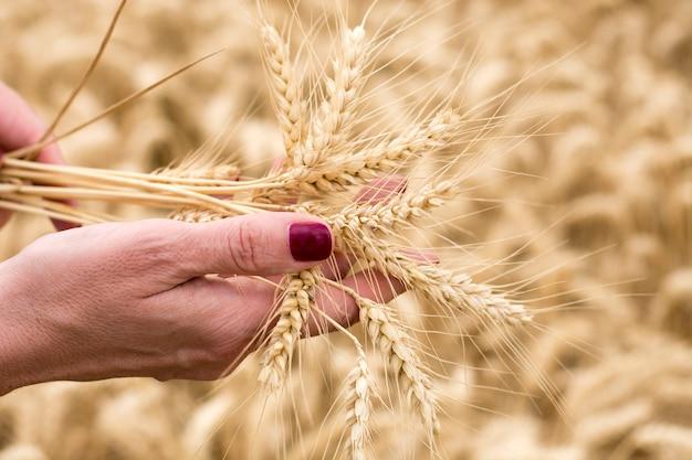 フィールド、小麦、植物、手