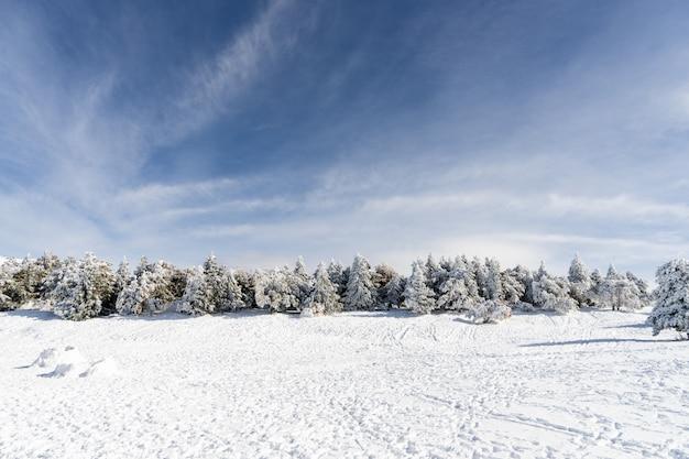 シエラネバダのスキーリゾートで雪に覆われた松の木