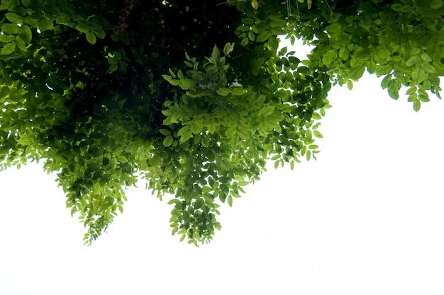 Граница из зеленых листьев и веток дерева на белом фоне