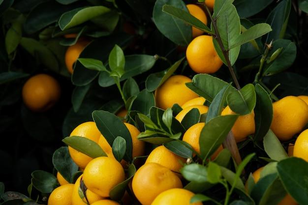 Свежий маленький апельсин на дереве. фон для здоровых и натуральных фруктов.