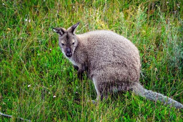 Одичалый валлаби в лесе в тасмании, австралии.
