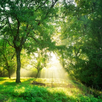 日の出の緑の森の風景の背景。