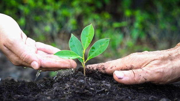 若い植物の苗の新しい生命は黒い土で育ちます。ガーデニングと環境保護のコンセプト。初期のプランテーションの世話をする人々。