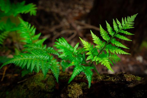 オーストラリア、タスマニアの熱帯雨林の野生のシダ。