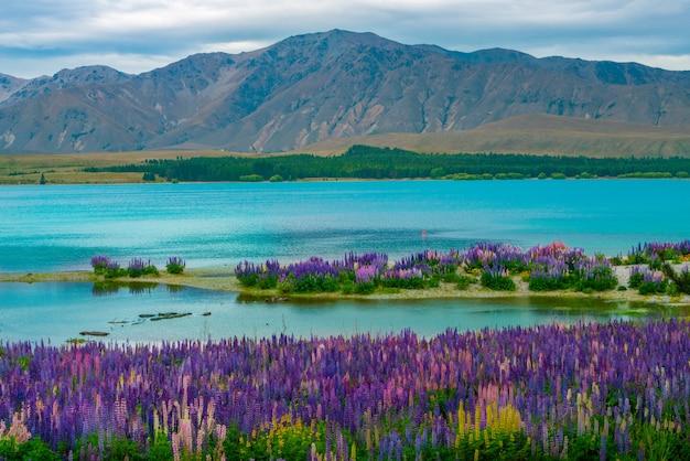 ニュージーランドのテカポ湖ルピナスフィールド