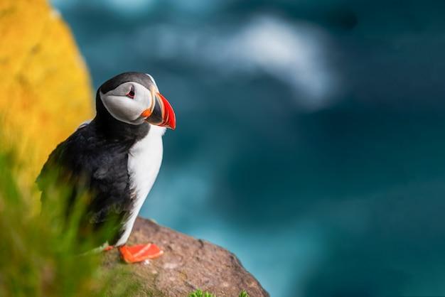 Дикая атлантическая морская птица тупик в скале