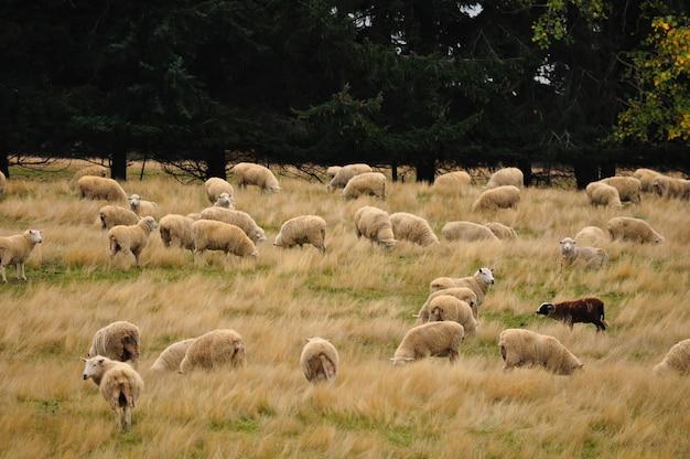 牧草地で放牧羊