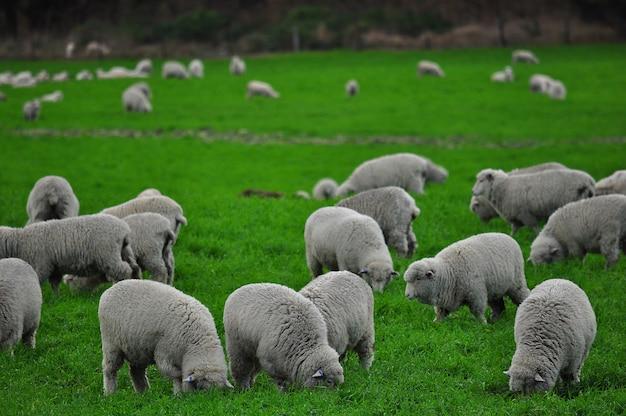 フィールドの羊