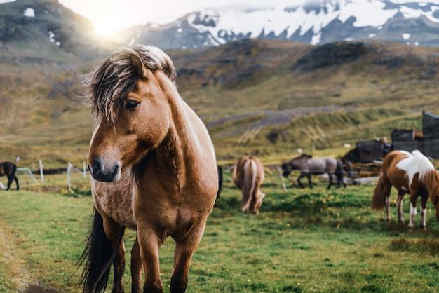 アイスランドの風光明媚な自然の中でアイスランドの馬。