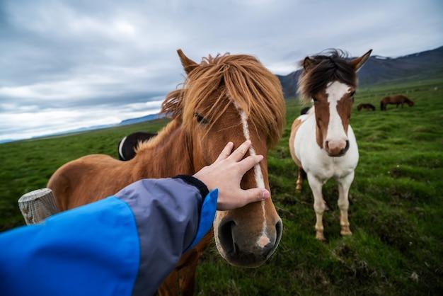 Исландская лошадь в живописной природе исландии.