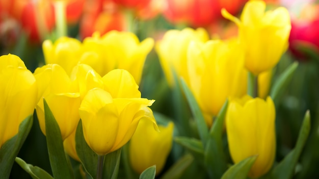 自然観察園でカラフルな黄色のチューリップの花