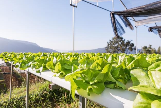 ファームでの緑のレタス野菜水耕プランテーション