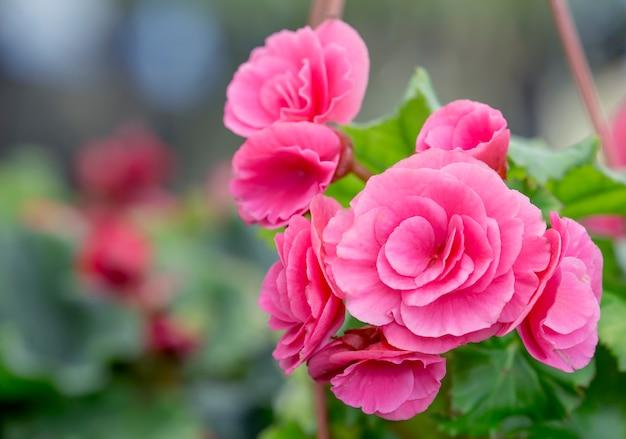 Розовый цветок камелии, цветущий в саду