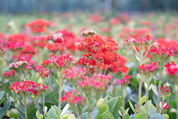 カランコエの花の庭