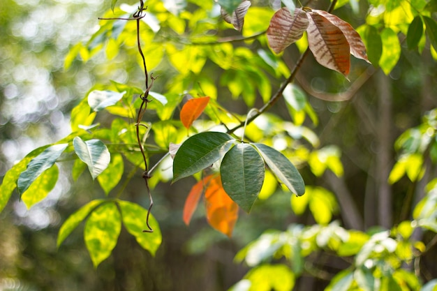 ゴム葉の背景。